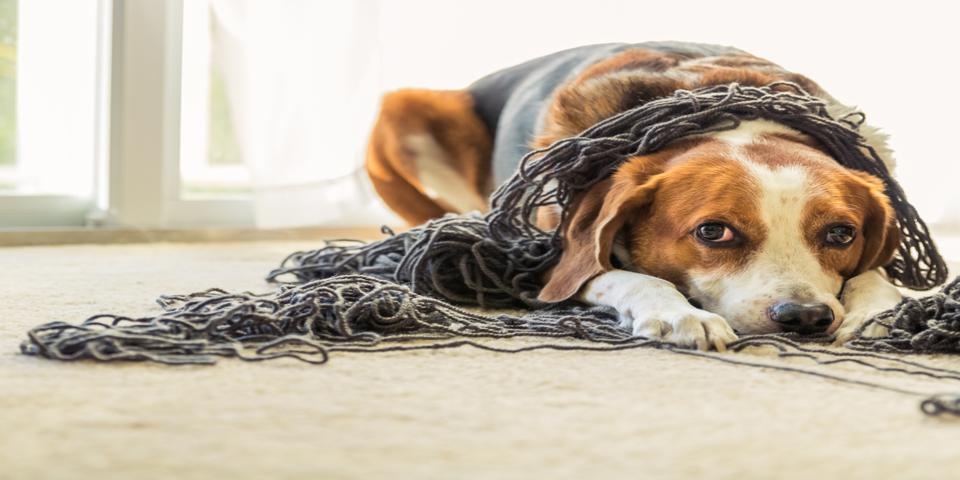 Anxiety in Pets