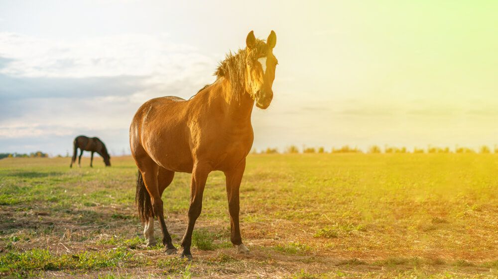 Texas A&M Studying Effects of CBD on Horses