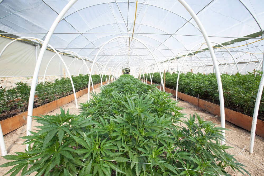 You're Not Growing Your Own Cannabis Yet? 4 Reasons Why You Should Start Today