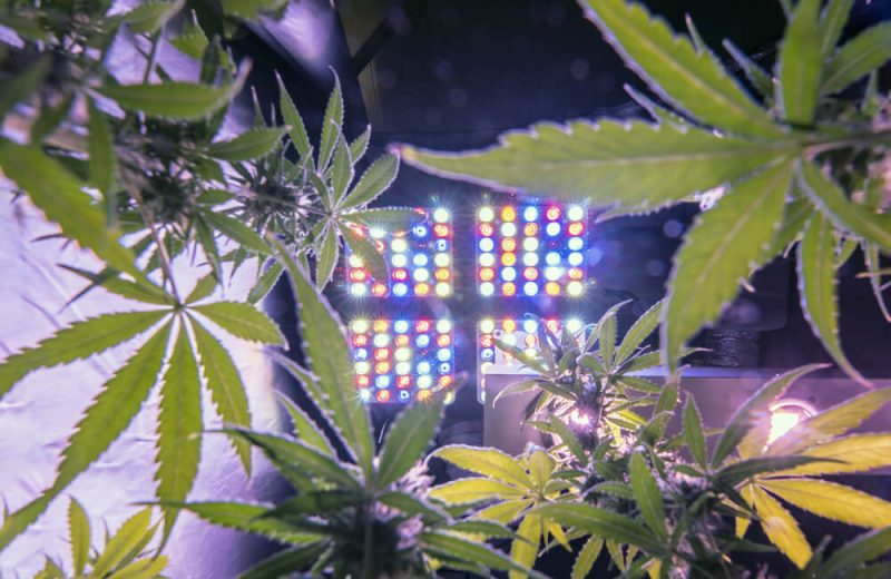 Marijuana cultivation indoor growing with full spectrum led lights. Cannabis plants with mature buds inside a grow box. Concept of production legal cannabis for recreational use. Bottom view