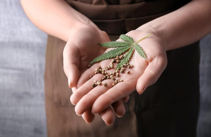 Young woman holding hemp seeds on grey background, closeup