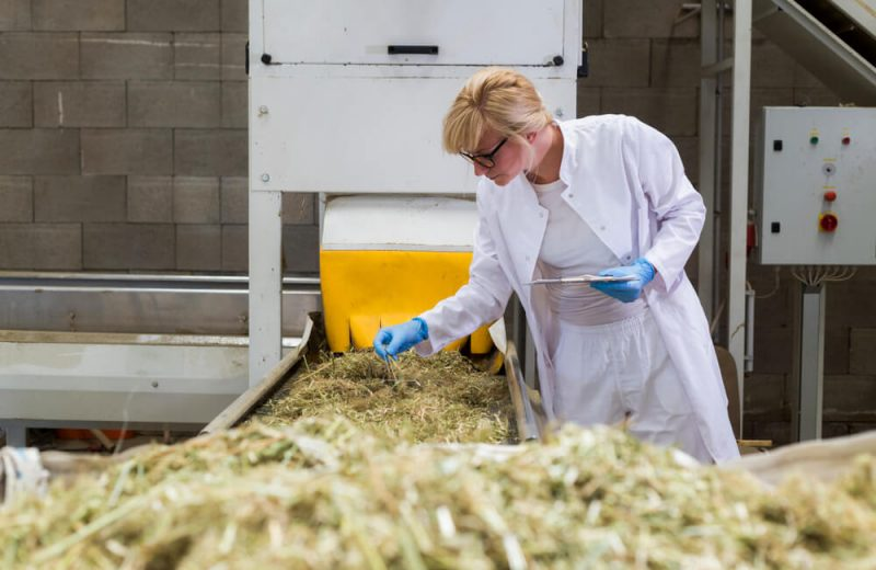 Scientist observing dry CBD hemp plants by the sorting machine in factory and taking notes. She is smiling and happy with results